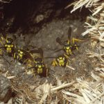 Ground-nesting yellowjacket workers at the entrance of their nest. Photo Credit: Jeff Hahn, University of Minnesota